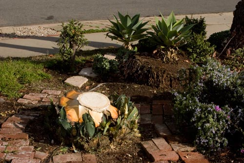 agave century plant bloom cut down 01-28-13, san diego, ca. photo by anders tomlinson.