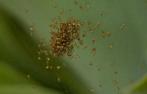 little bugs 02, possibly spiders, show up , san diego, ca.  photo by anders tomlinson