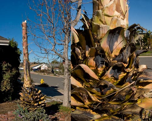 Cutting continues on agave century plant after bloom, san diego, ca.  1-15-13.  photos by anders tomlinson.