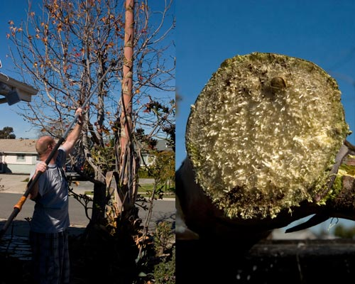 01-08-13,  agave century plant is cut down, san diego, ca.  photos by anders tomlinson.