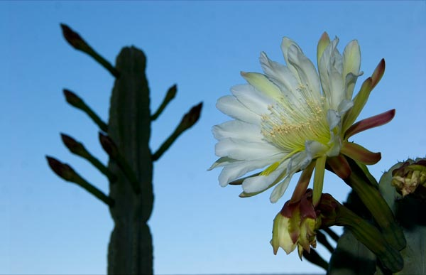 cactus bloom with blooms to be seen in the background and blooms that were in the foreground.  photo by anders tomlinson.  05-03-14.  san dirgo, ca.