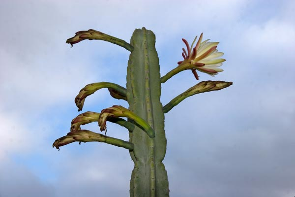 peruvian apple cactus blooming, 05-2014, san diego, ca.  photo by anders tomlinson.