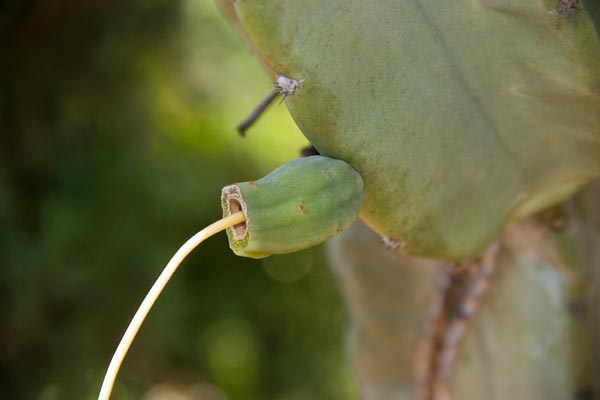 cactus flower falls off leaving what could be a feuit, san diego, ca.  photo by anders tomlinson