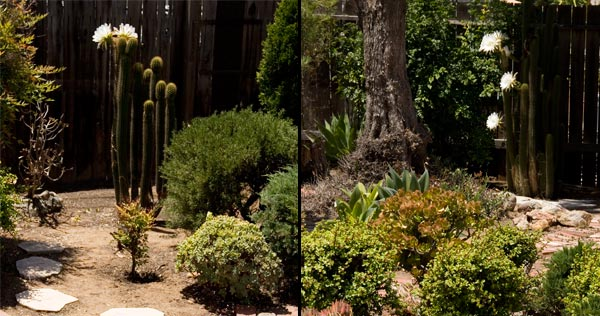 two pipe organ cactus are in bloom at the same time. san diego. ca. photos by anders tominson