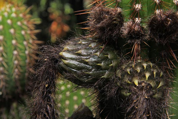 pipe organ cactus developing fruit, 05-2014, sand diego, ca.  photo by anders tomlinson