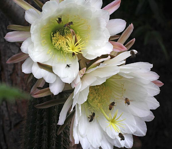 bees flock to organ pipe cactus flowers, may 15, 2014, san diego, ca, photo by anders tomlinson