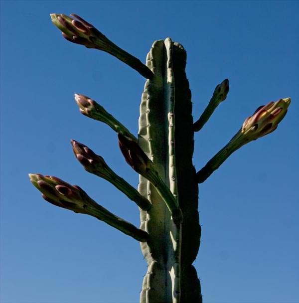 day before peruvian cactus begins flowering, 05-2014, san diego, ca.  photo by anders tomlinson.