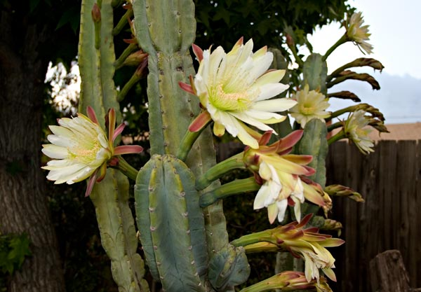 peruvian apple cactus flowers, 05-2014, san diego, ca.  photos by anders tomlinson