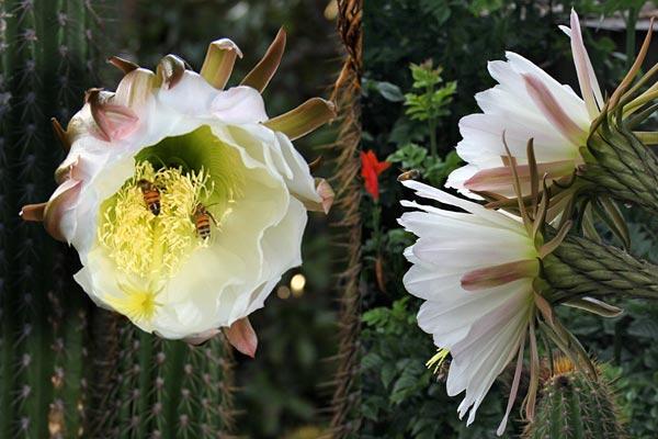 pipe organ cactus flowers, 05-2014, san diego, ca. photos by anders tomlinson