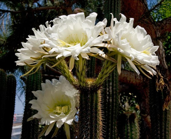 pipe organ cactus flowers, san diego ca. photo by anders tomlinson.