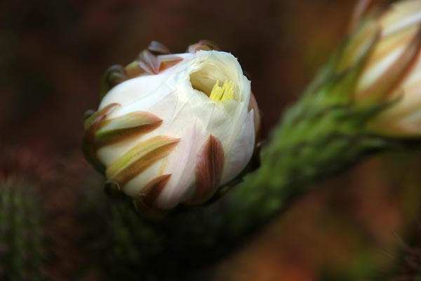 Pipe organ Cactus flower in the early stages of opening up, san diego, ca.  photo by anders tomlinson