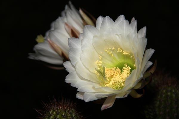 pipe organ cactus flowers have opened fully, san diego, ca., photo by anders tomlinson
