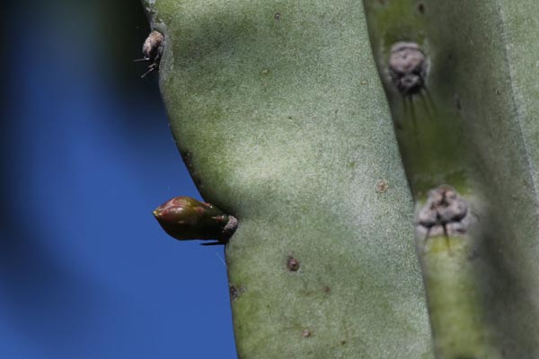 bud starts on peruvian apple cactus, san diego ca.photo by anders tomlinson,