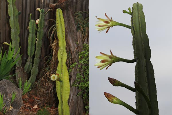 2 peruvian apples cactus in different stages of flowering, san diego, ca., photos by anders tomlinson