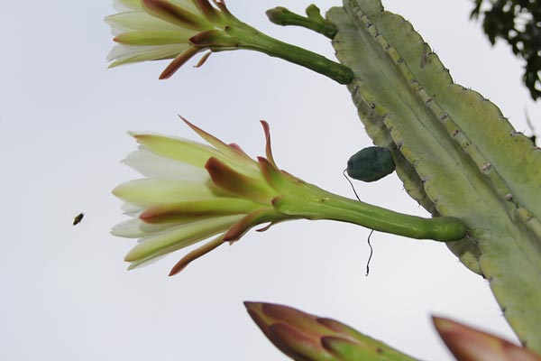 peruvian apple cactus with bee, san diego, ca., photo by anders tomlinson