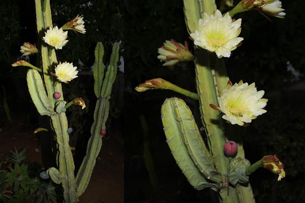 peruvian apple cactus in bloom, flowers and fruit, san diego, photos by anders tomlinson