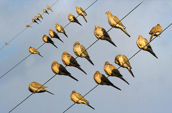 doves sitting on lines, san diego ca.  photo by anders tomlinson.