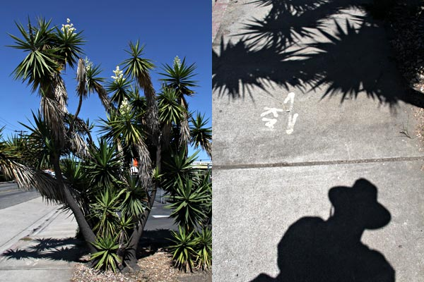 yucca cactus in bloom on street in kearny mesa, san diego, california.  photos by anders tomlinson.