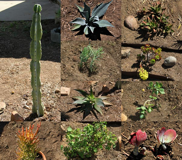 12 cactus - succulents in the allied gardens, san diego, ca. house. 02-13-14. photo by anders tomlinson. story of building a smart water yard. multi-media project: film by anders tomlinson. garden and music by SonicAtomics
