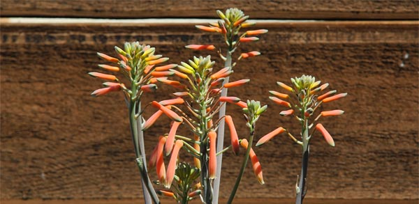 succulent that helps feed humming bird on nest, allied gardens, san diego, ca. house. 02-13-15. photo by anders tomlinson. story of building a smart water yard. multi-media project: film by anders tomlinson. garden and music by SonicAtomics.
