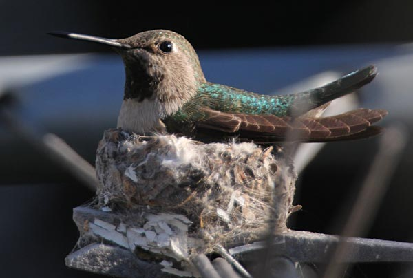 humming bird on nest, allied gardens, san diego, ca. house. 02-13-15. photo by anders tomlinson. story of building a smart water yard. multi-media project: film by anders tomlinson. garden and music by SonicAtomics.
