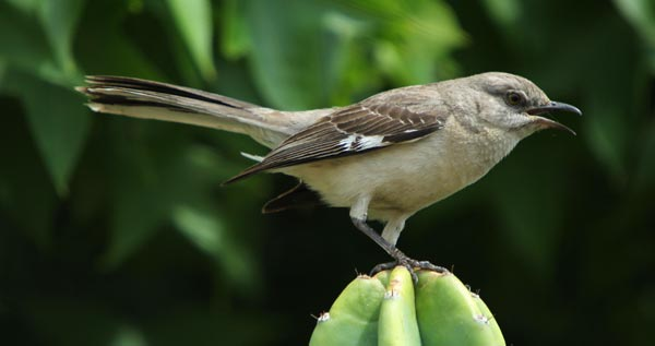 mocking birds protecting nest.  San Diego garden, may 2016.  photo by Anders Tomlinson.