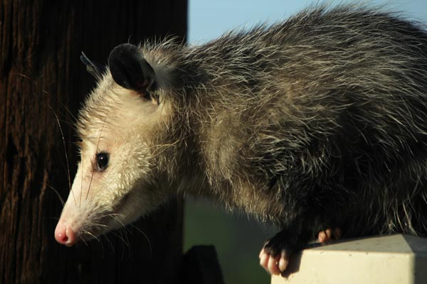 Opossum in Serra Mesa, Ca. photo by Anders Tomlinson. 10-31-16.