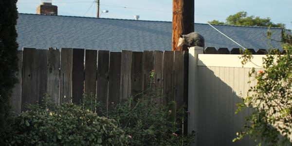 Opossum in Serra Mesa, Ca. photo by Anders Tomlinson. 10-31-16.