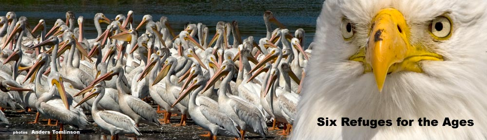 Pelicans and Bald Eagle on The klamath Basin National Wildlife Complex. Photos by Anders Tomlinson