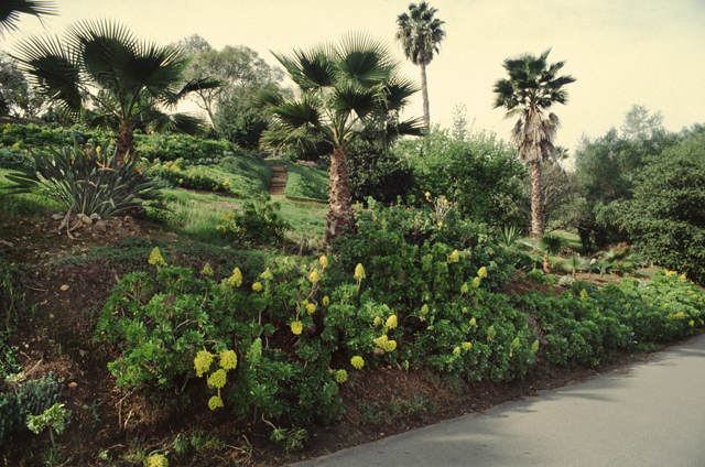 Succulent groundcover and hedges  on Circle Drive in Escondido CA. Phgoto by Anders Tomlinson.
