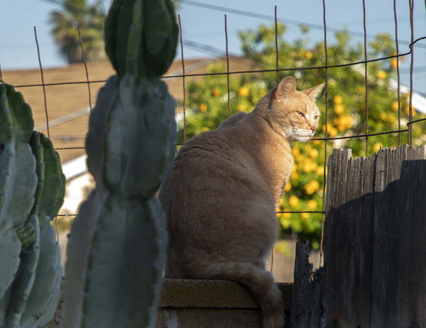 cat on wall at water smart garden in serra mesa, san diego, ca. May 2, 2019. photo by Anders Tomlinson